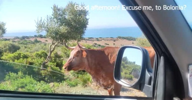 cow gives directions