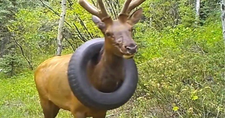 elk stuck in tire