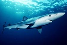 Espèce observable : Blue shark