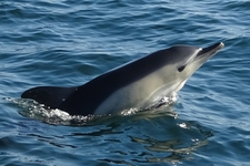 Espèce observable : Short-beaked common dolphin