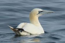 Espèce observable : Northern gannet