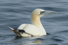 Espèce observable : Northern gannet