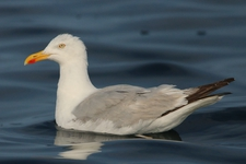 Espèce observable : European herring gull