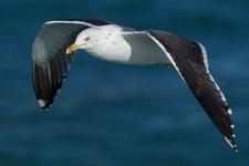 Espèce observable : Lesser black-backed gull