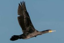 Espèce observable : Great cormorants