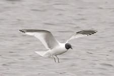 Espèce observable : Sabine's gull