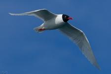 Espèce observable : Mediterranean gull