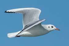 Espèce observable : Black-headed gull