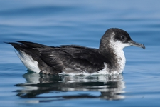 Espèce observable : Manx shearwater