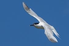 Espèce observable : Sandwich tern