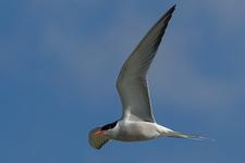 Espèce observable : Common tern
