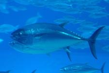Espèce observable : Atlantic bluefin tuna