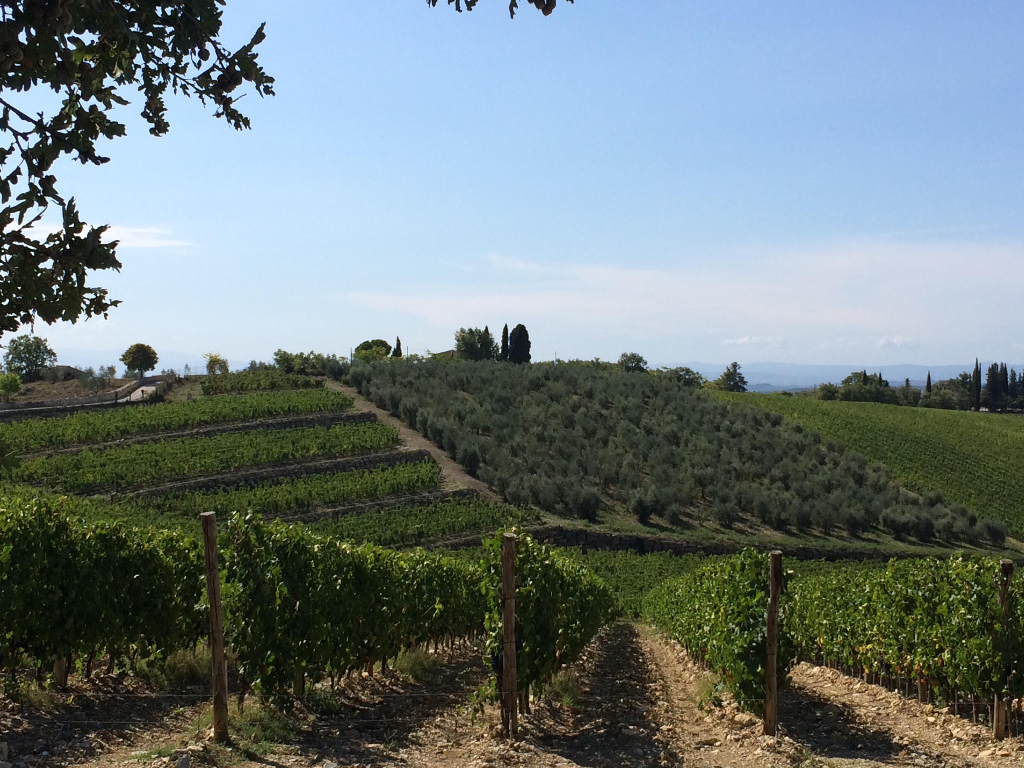 Vino di Montecucco, filari di viti