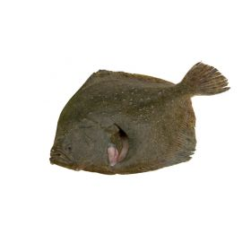 TURBOT SALVATGE 400-500 G