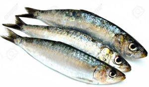 Baits & Additives Sardine  Sardine