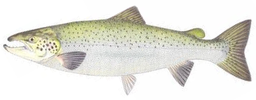 Atlantic Salmon (Landlocked)