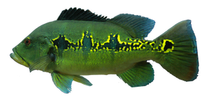 Orinoco Peacock
