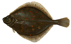 European Plaice