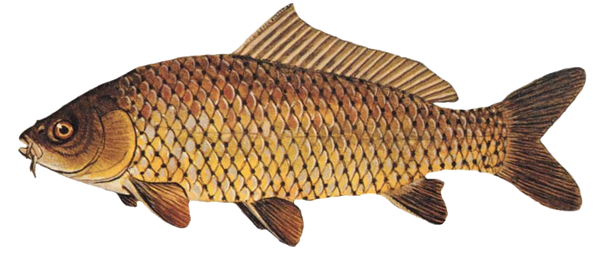 Common Carp