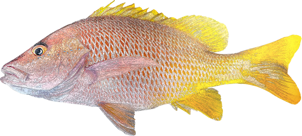 Yellow Snapper