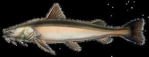 Gilded Catfish