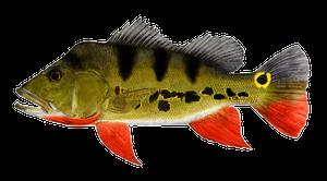 Peacock Bass ( Monoculus)