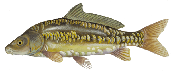 Mirror Carp