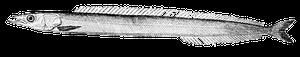 Northern Sand Lance