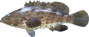 Orange Spotted Grouper