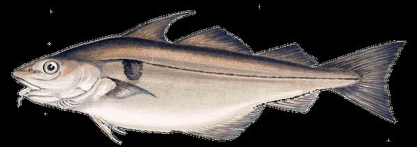 Aiglefin (Eglefin - Haddock)
