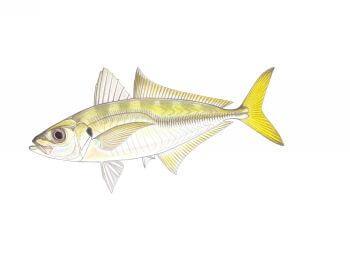 Yellowtail Horse Mackerel