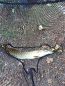 Northern Pike — Ty Gaster