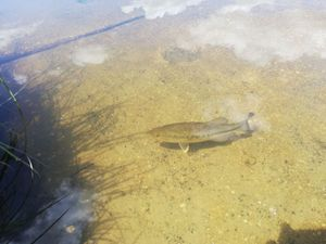 Largemouth Bass — butchy 974
