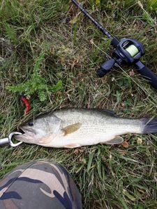 Largemouth Bass — Fabien Laville