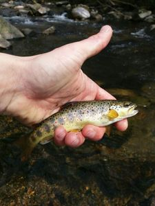 Brown Trout — Arno_raplapla Chauquet