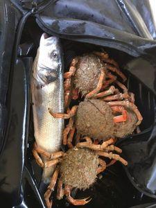 European Spider Crab — Tristan Gueguen