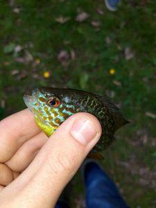 Green Sunfish — Mathis MARÉCHAL