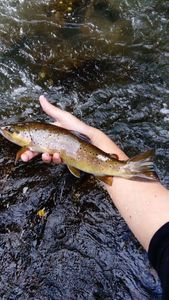 Common Trout — Thomas Lheritier