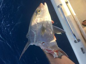 Lesser Amberjack — Anthony guide pêche Guadeloupe