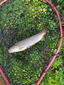 Brown Trout — Alex Fishing