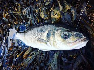 European Bass — Yagofish