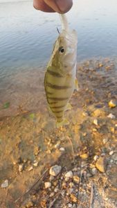 European Perch — passion Float-tube  ( youtube)