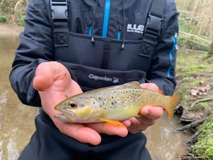 Brown Trout — Aymerik Palermo