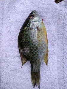Green Sunfish — Vincent Prunot