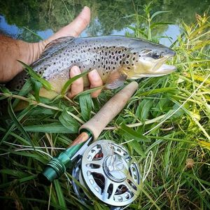 Brown Trout — P K