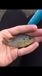 Green Sunfish — Stick Stick