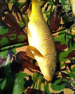 Common Carp — ilan Truitos