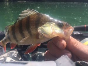 European Perch — Geoffroy Amard