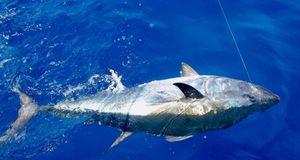 Southern Bluefin Tuna — Brice Lanteri