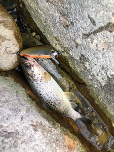 Brown Trout — Maxou pescadou